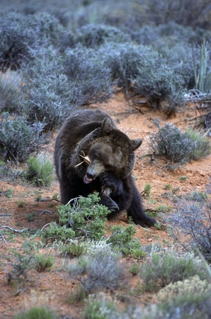 terrestrial mammals: Grizzly bear in the scrub eating branch