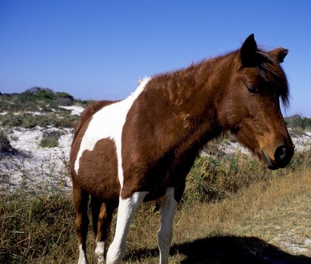 terrestrial mammals: A wild pony near the road, investigating the park visitors of  Assateague Island