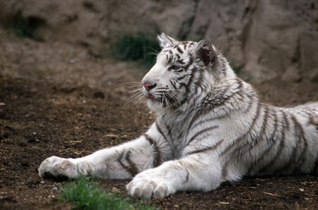 White tiger laying on the ground watching intently Stock Photo - 9500107