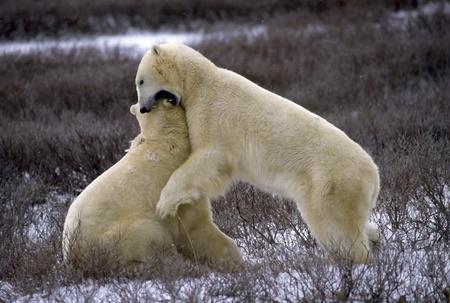Two adult Polar Bears wrestling. Stock Photo - 9569185