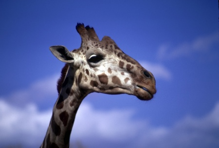 terrestrial mammals: Close-up profile of an adult giraffe against blue sky. Stock Photo