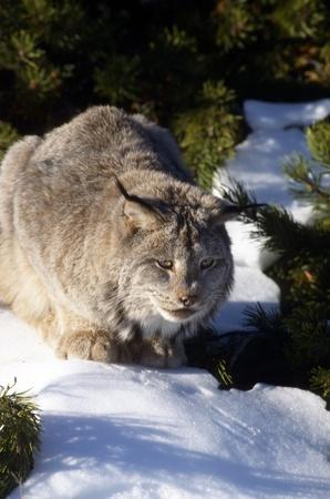 Bobcat agazapados en la nieve buscando a saltar