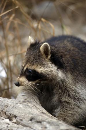 Raccoon head shot in profile on a log photo
