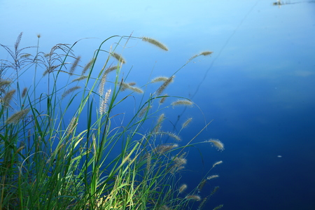 reed beside river Stock Photo