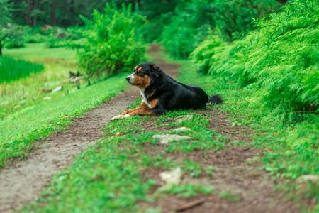 Black Indian Dog in Forest in Himalayas, Sainj Valley, Himachal Pradesh Zdjęcie Seryjne