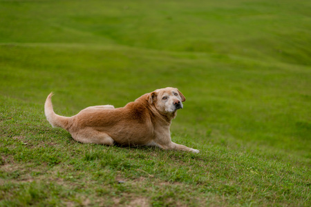 Photo of Indian Dog in Green Meadow in Himalayas, Great Himalayan National Park, Sainj Valley, Shahgarh, Himachal Pradesh, India