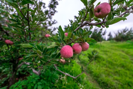 Apple garden nature background rainy day. Gardening and harvesting. Fall apple crops organic natural fruits 写真素材