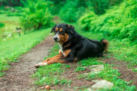 Black Indian Dog in Forest in Himalayas, Sainj Valley, Himachal Pradesh Фото со стока