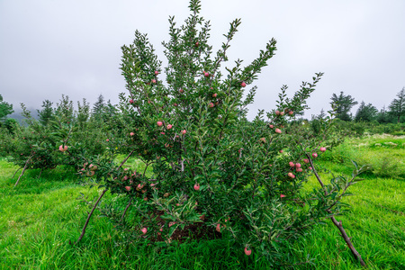 Apple garden nature background rainy day. Gardening and harvesting. Fall apple crops organic natural fruits. Apple tree with ripe fruits on branches. Apple harvest concept.