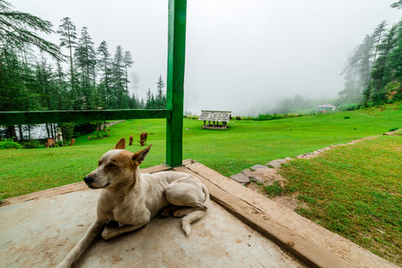 Indian dog in porch in Himalaya Mountains, Himachal Pradesh, India