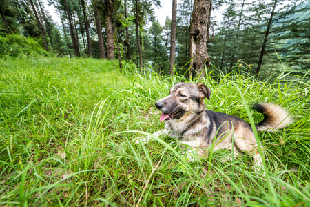 Indian Dog in a forest. Dog walking outdoors in a forest