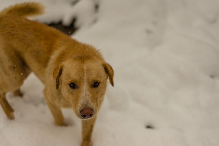 Indian Dog running and playing in the snow on the nature - himalayas