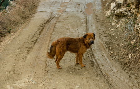 Indian Dog in Himalayas in Road - India Stockfoto