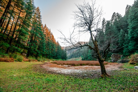 Autumn - Beautiful deodar forest in Manali, Himachal Pradesh, India - 免版税图像