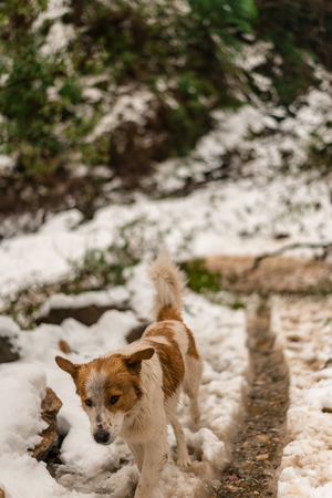 Dog in Mountains - Majestic winter landscape in himalayas - India