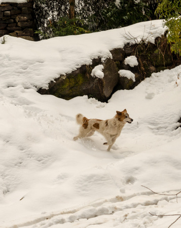 Dog in Mountains - Majestic winter landscape in himalayas - India -