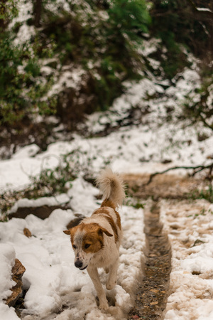 Dog in Mountains - Majestic winter landscape in himalayas - Фото со стока