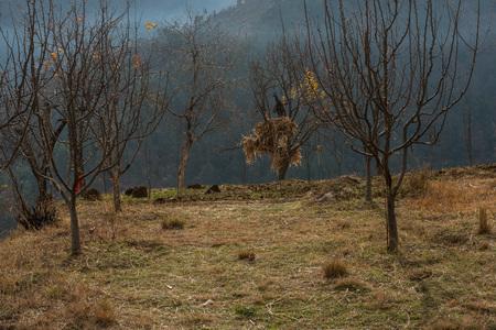 Apple tree garden in himalayas in india - Stock Photo