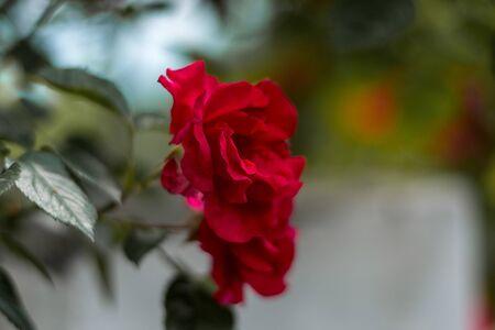 Red Flower in Garden - Himalayas