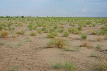 Green Grass in Thar Desert, Rajasthan