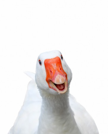 white smiling goose on green background