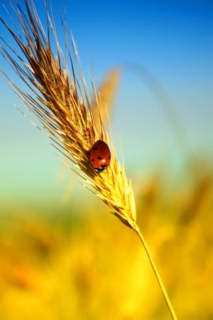 wheat with ladybug on it  photo