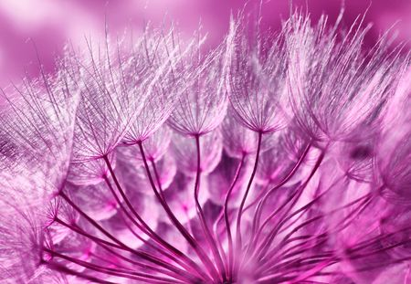 Pink abstract macro photo of dandelion  Stock Photo - 7163576