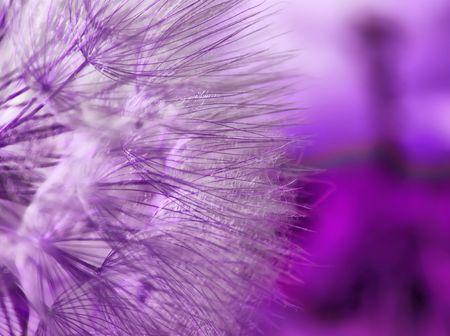 viento soplando: P�rpura macro abstracta de diente de Le�n  Foto de archivo