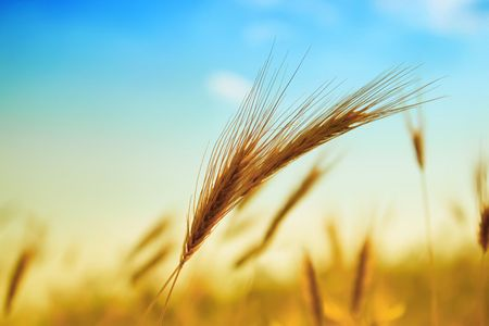 Photo of ear of wheat with bright sun and blue sky photo