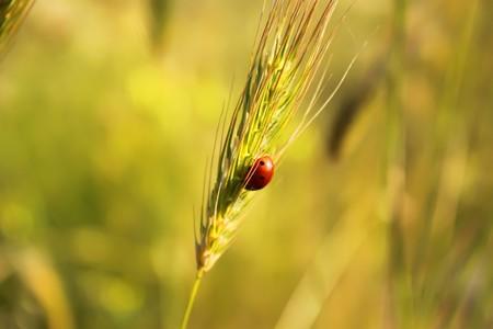 Photo of ear of wheat with ladybug on it  photo