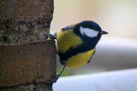 Photo of tomtit bird seating on the atone wall