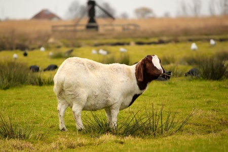 boer: Photo with goat Stock Photo