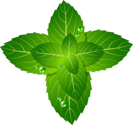 picture of mint leaf Stock Vector - 9879682