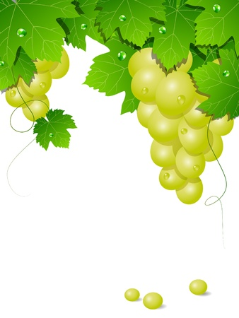 grape leaf: background with white grapes Illustration