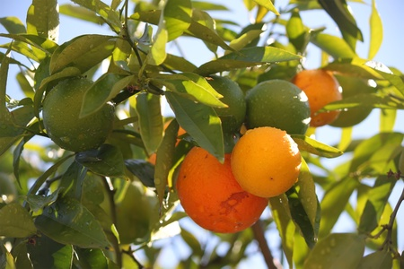 This is a photo of mandarin tree photo