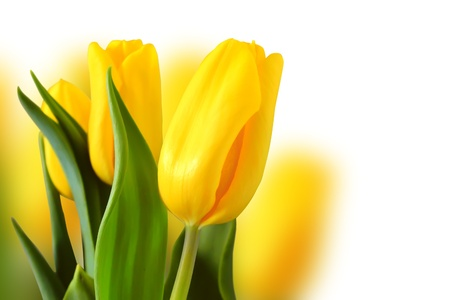 Photo with yellow tulips Stock Photo - 12406341