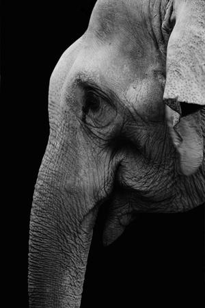 Black and white photo of elephant Stock Photo