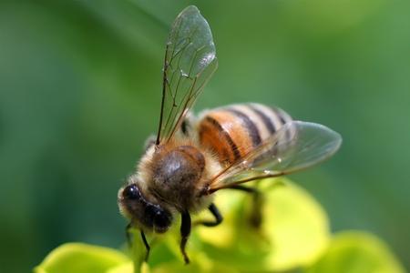 worker bees: Macro photo of bee Stock Photo