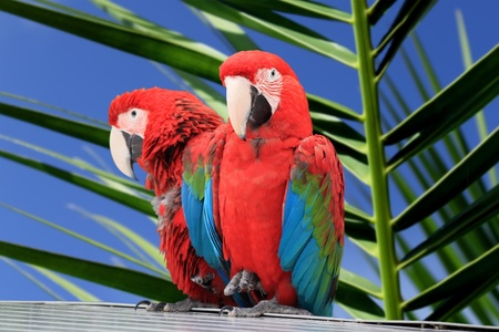 two parrots: Photo of red parrot Macaw