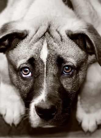 animal photo: This is a sepia photo of a puppy Stock Photo