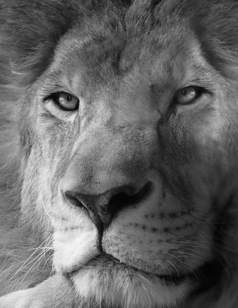head rest: Black and white photo of lion Stock Photo
