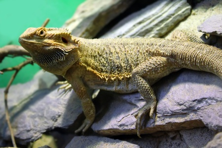 Photo of Bearded Dragon Stock Photo - 15736069