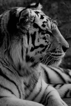 Black and white photo of tiger Stock Photo - 15736067