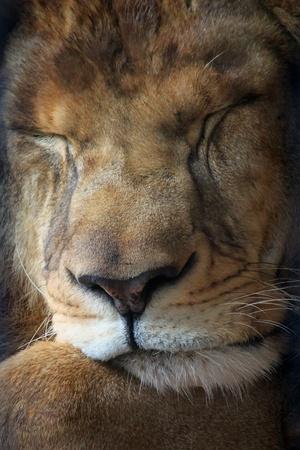 lion face: Photo of lion