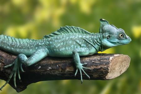 jaszczurka: Beautifull obraz jaszczurka zielona (plumifrons Basiliscus)