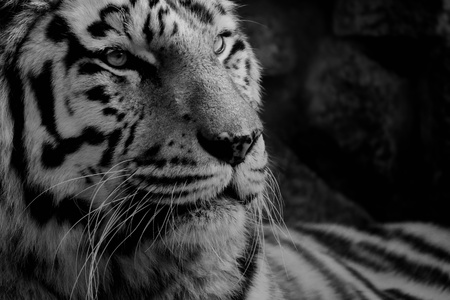 Black and white photo of tiger photo