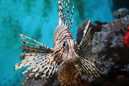 zebrafish: Photo of Lionfish (Pterois mombasae)