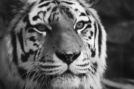 Black and white photo of tiger