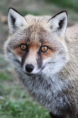 canid: Photo of fox on Etna