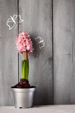 Cute photo of pink hyacinth flower Stock Photo - 17341521